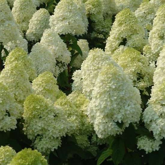 Hortensia lime light